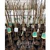 Eetbare tuin-edible garden Vitis vinifera Red Globe - Druif