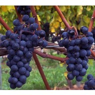 Eetbare tuin-edible garden Vitis vinifera Marechal Foch - Wine grape