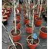 Eetbare tuin-edible garden Vitis vinifera Marechal Foch - Wine grape