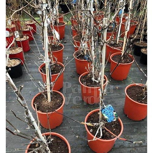 Eetbare tuin-edible garden Vitis vinifera Marechal Foch - Wijndruif