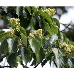 Eetbare tuin-edible garden Hovenia dulcis