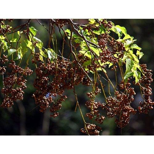 Eetbare tuin-edible garden Hovenia dulcis - Japanse krentenboom