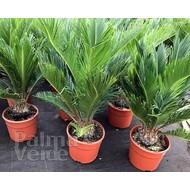 Palmbomen-palms Cycas revoluta