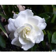 Bloemen-flowers Gardenia jasminoides - Cape jasmine