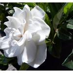Bloemen-flowers Gardenia jasminoides Grandiflora - Kaapse jasmijn