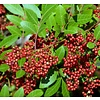 Eetbare tuin-edible garden Schinus terebinthifolius - Pink pepper