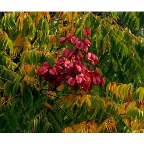 Bomen-trees Koelreuteria paniculata - Golden rain tree