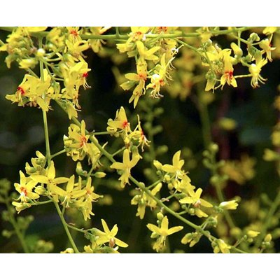 Blad-leaf Koelreuteria paniculata - Blaasjesboom