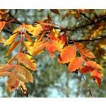 Bomen-trees Koelreuteria paniculata - Blaasjesboom