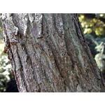 Blad-leaf Koelreuteria paniculata - Golden rain tree