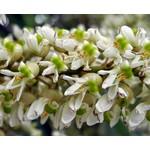 Blad-leaf Maackia amurensis - Amur Maackia