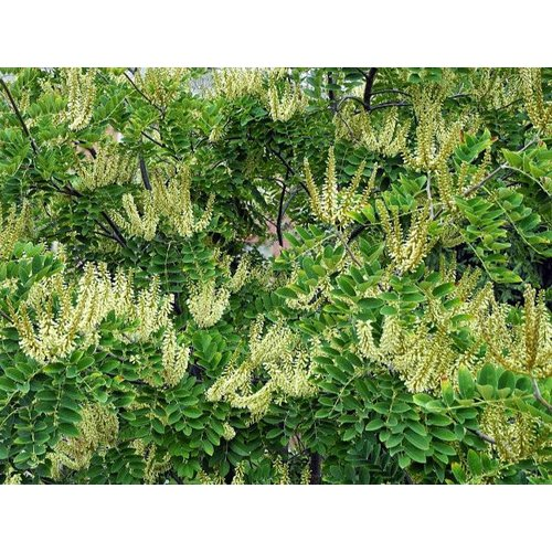 Bomen-trees Maackia amurensis - Amur Maackia