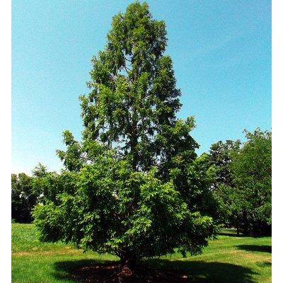 Blad-leaf Metasequoia glyptostroboides - Dawn Redwood