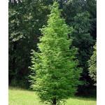 Bomen-trees Metasequoia glyptostroboides - Chinese moerascipres