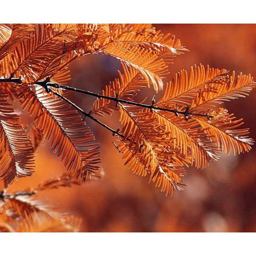 Blad-leaf Metasequoia glyptostroboides - Dawn Redwood