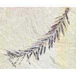 Blad-leaf Metasequoia glyptostroboides - Chinese moerascipres