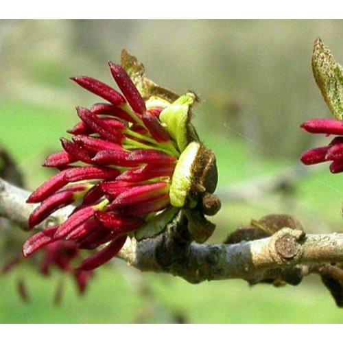 Bomen-trees Parrotia persica - Perzisch ijzerhout