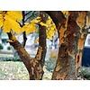 Blad-leaf Parrotia persica - Perzisch ijzerhout
