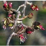 Bomen-trees Parrotia persica - Persian ironwood