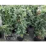 Eetbare tuin-edible garden Citrus australasica - Vingerlimoen - Limoenkaviaar