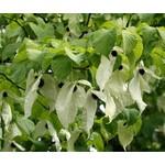 Blad-leaf Davidia involucrata - Handkerchief tree