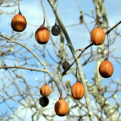 Bomen-trees Davidia involucrata - Zakdoekenboom
