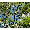 Blad-leaf Davidia involucrata - Zakdoekenboom