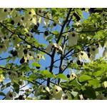 Bomen-trees Davidia involucrata - Handkerchief tree