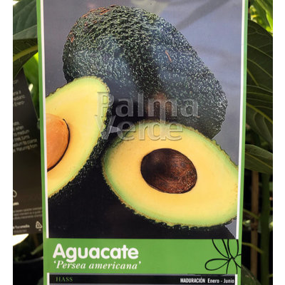 persea americana - avocado plant - palma verde exoten v.o.f.