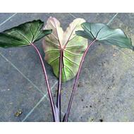 Blad-leaf Colocasia esculenta Violet Stem - Olifantenoor