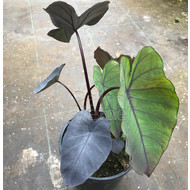 Blad-leaf Colocasia esculenta Black Magic - Olifantenoor