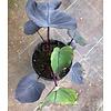 Blad-leaf Colocasia esculenta Black Magic - Olifantenoor
