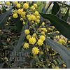 Bloemen-flowers Acacia retinodes - Mimosa of four seasons