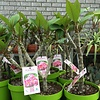 Bloemen-flowers Plumeria rubra Divine - Frangipani - Tempelboom