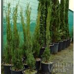 Bomen-trees Cupressus sempervirens Stricta