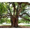 Bomen-trees Maclura pomifera Cannonball - Osage thorn