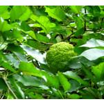 Bomen-trees Maclura pomifera Cannonball - Osagedoorn