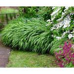 Siergrassen-ornamental grasses Hakonechloa macra Albostriata