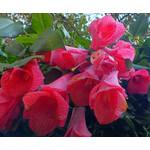 Bloemen-flowers Lapageria rosea