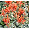 Bloemen-flowers Jacobinia subcorrecta - Dicliptera sericea