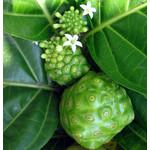 Eetbare tuin-edible garden Morinda citrifolia - Noni fruit