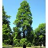 Blad-leaf Taxodium distichum - Moerascipres