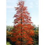 Bomen-trees Taxodium distichum - Bald cypress