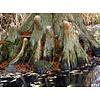 Blad-leaf Taxodium distichum - Bald cypress