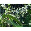 Eetbare tuin-edible garden Azadirachta indica - Neem tree