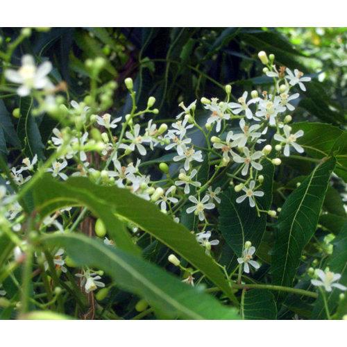 Eetbare tuin-edible garden Azadirachta indica - Neemboom
