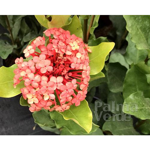 Bloemen-flowers Ixora chinensis