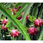 Woestijn-desert Hylocereus undatus - Pitaya - Dragon fruit