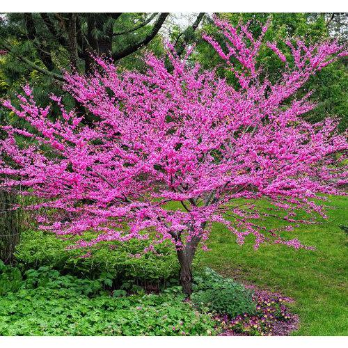 Bloemen-flowers Cercis canadensis - American Redbud tree
