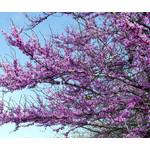Bloemen-flowers Cercis canadensis - Amerikaanse Judasboom